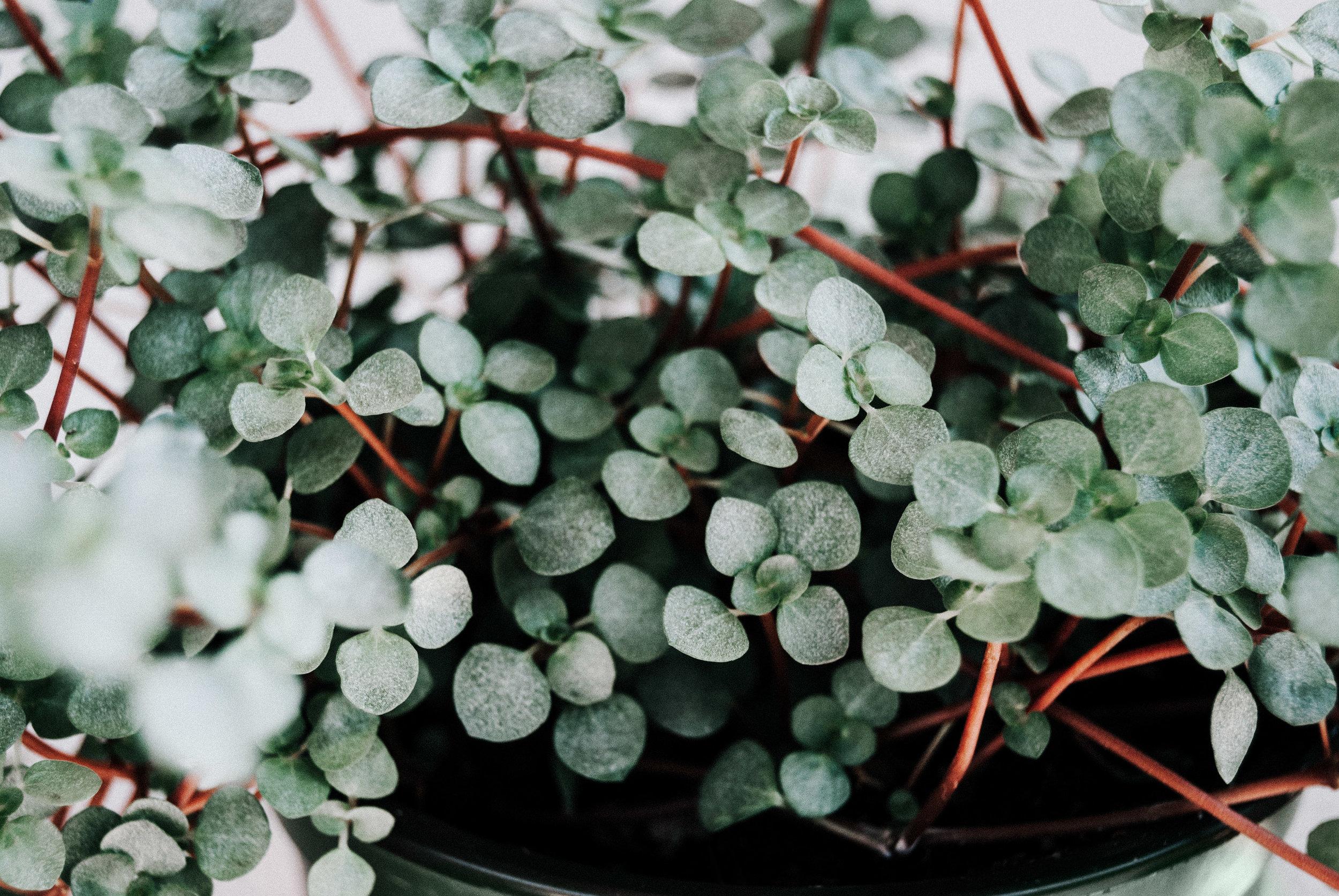 Silver sparkle pilea Houseplant Care Guide - Dusty Hegge