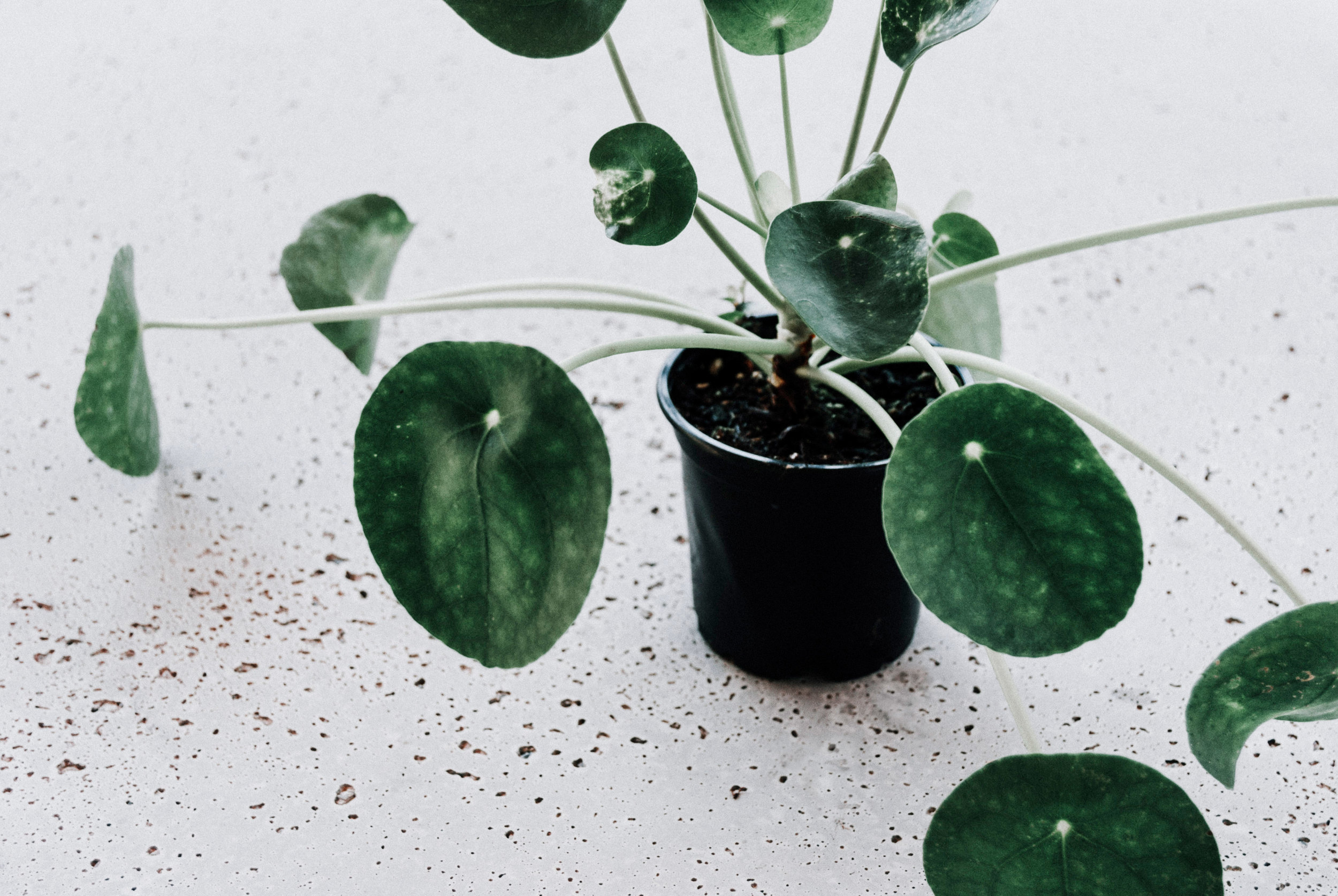 Pilea peperomioides aka Chinese Money Plant history and care on Grow Well Podcast