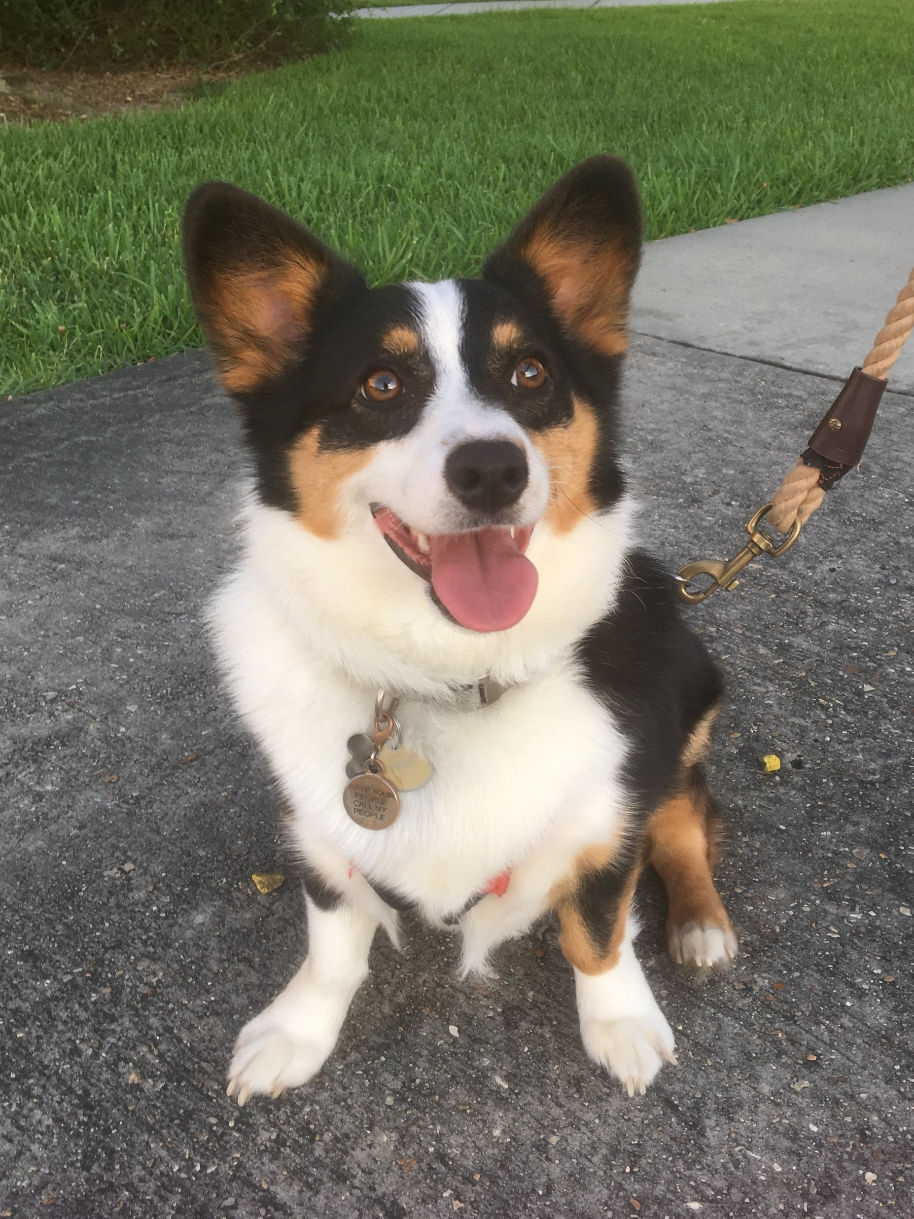 Capitan - 1 year old tricolor corgi who loves (short) walks, chasing his stubby tail, and snuggling on our feet. His favorite place in the world is Camp Bow Wow. He's the most happy, go-lucky boy I know!