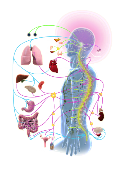 orgnas and spine.png