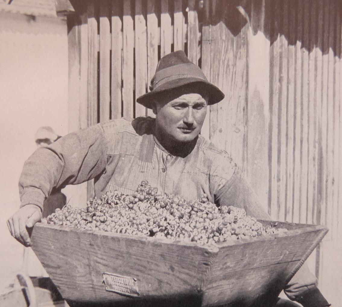 Village man collecting grapes.