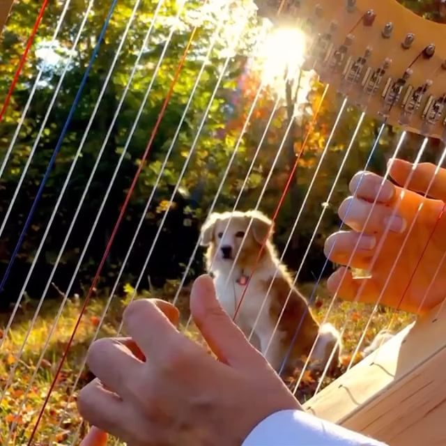 The Instagram celebrity dog, Maple, gazes through the strings and, if you look carefully, you can see that the soundboard of this Fullsicle™ Harp has bellied-up perfectly.