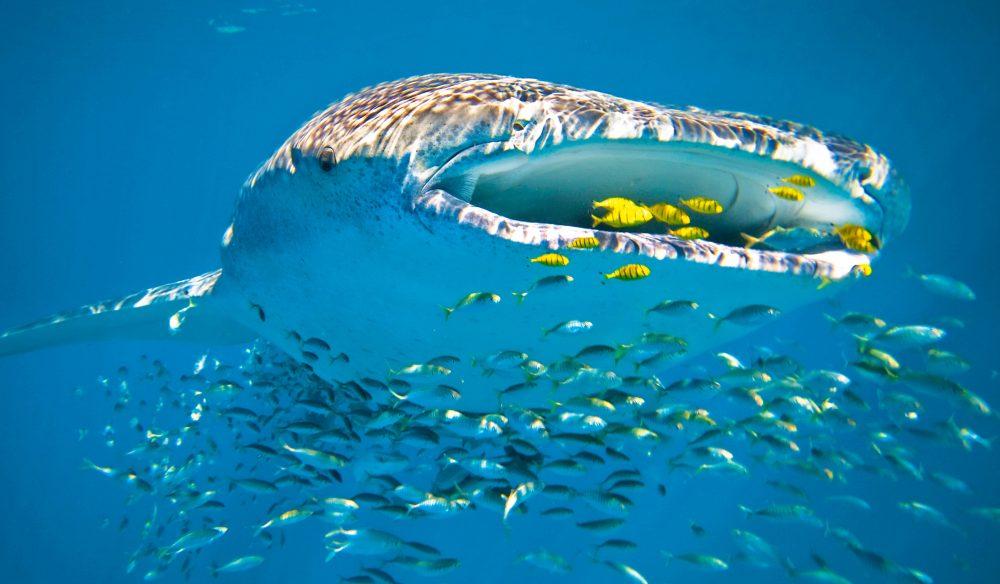 whaleshark-2-CREDIT-Sal-Salis.jpg