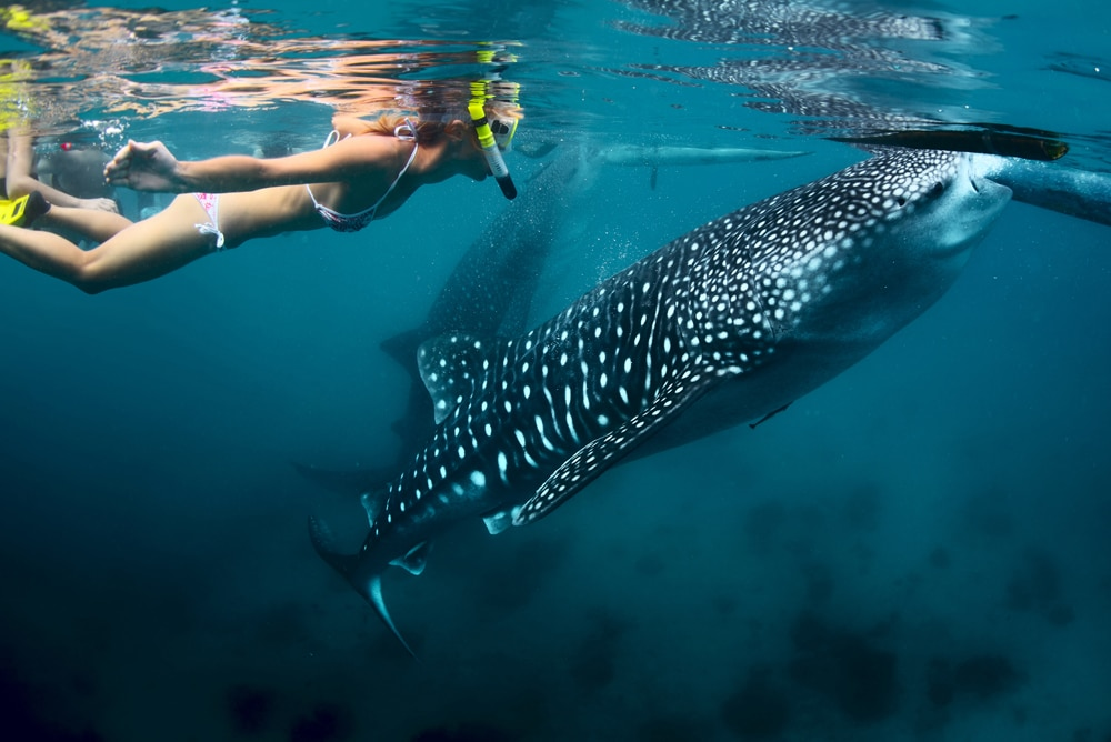 snorkeling-with-the-whale-sharks.jpg