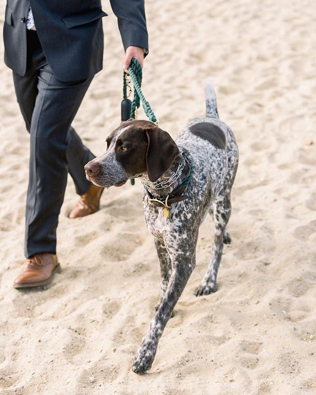 here comes the .... pup 😍 . . . . . #weddingphotographer #marthasvineyardwedding #mvwedding #marthasvineyardbride #bride #islandwedding #dogs #dogsofinstagram #beachwedding #outdoorwedding #germanshorthairedpointer #dogsatweddings #puppy #dog #lifeofaphotographer #bostonweddingphotographer #dowhatyoulove #instabest #canon #risingtidesociety #mv #edgartown #bostonwedding #communityovercompetition