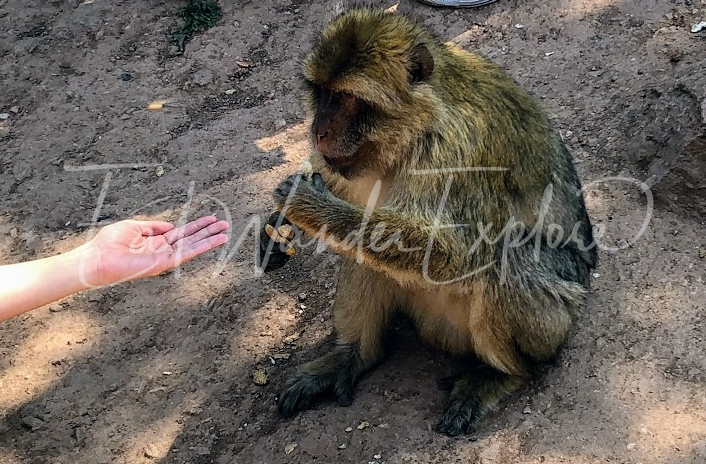 ouzoud waterfalls barbary apes feeding.jpg