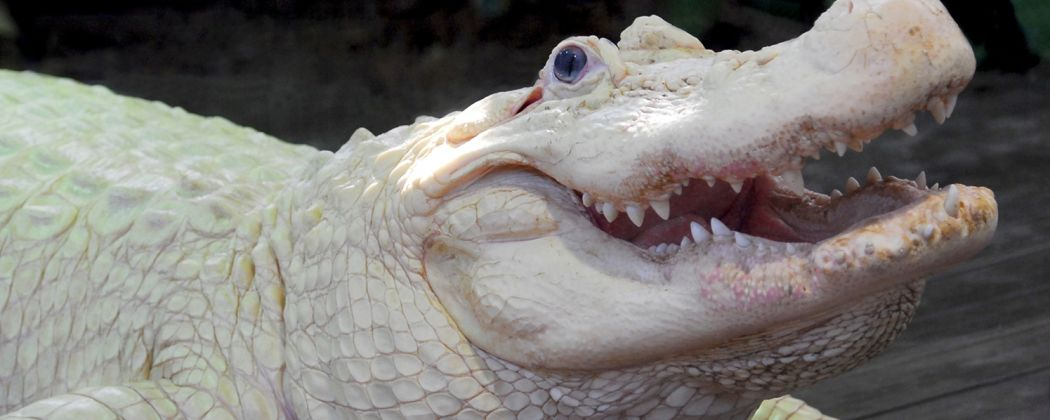 gatorland-white-gator-1050x420.jpg