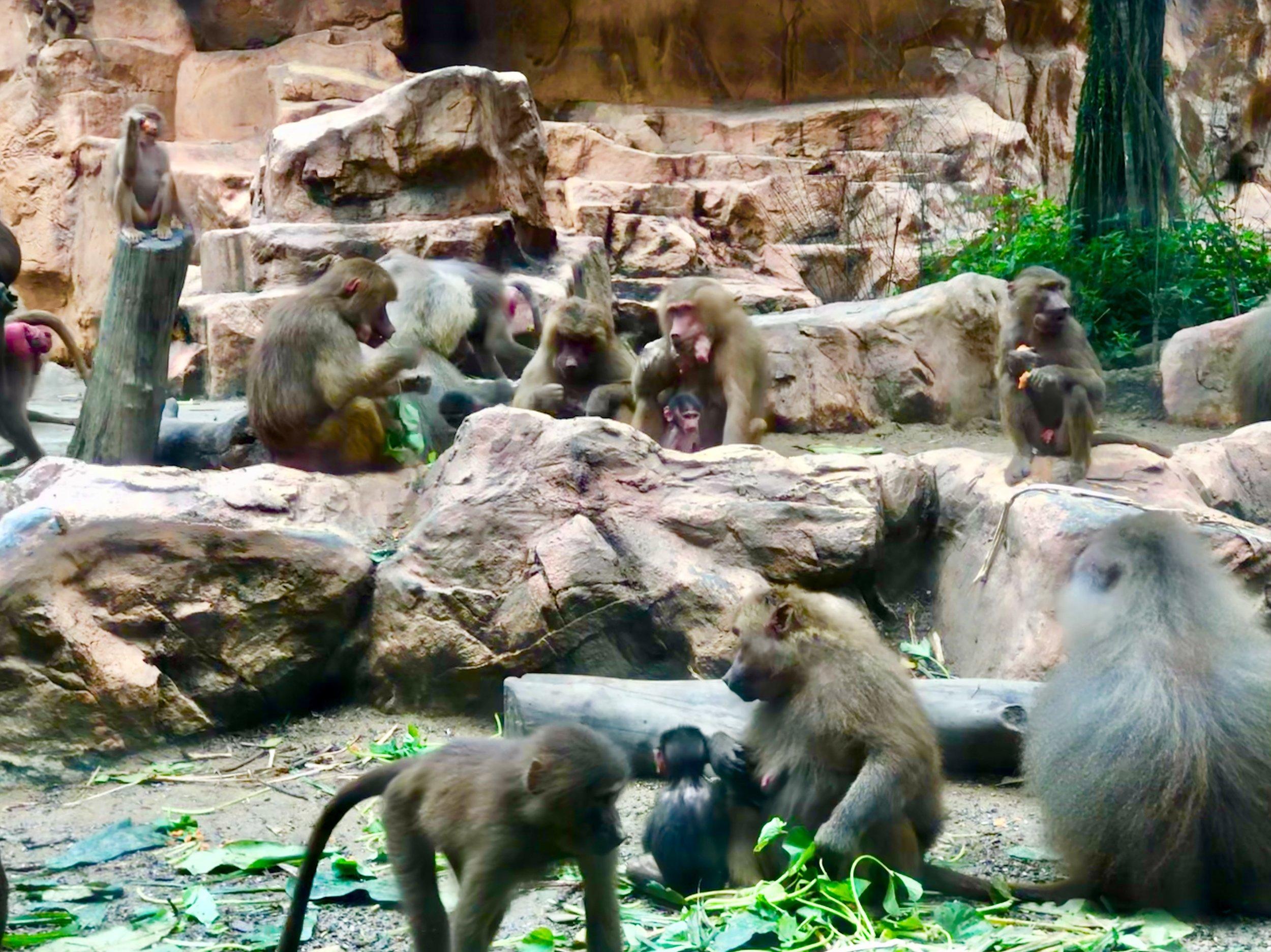 Singapore Zoo Hamadryas Baboons