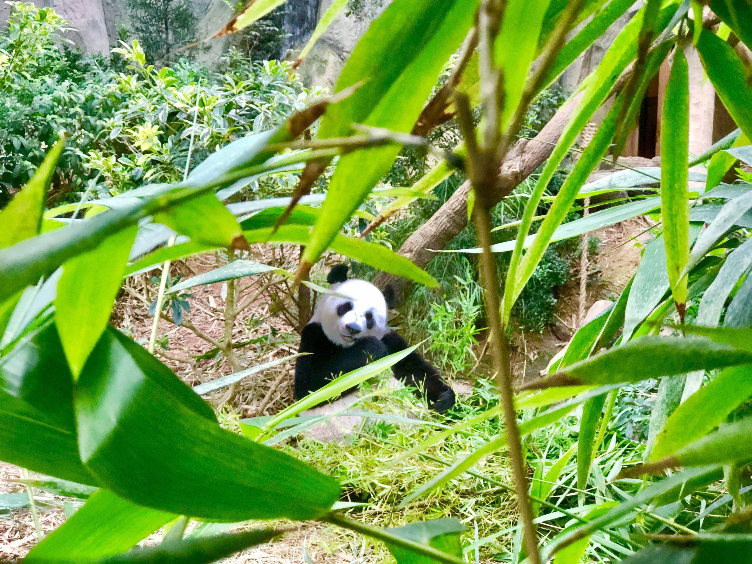 Singapore River Safari Giant Panda