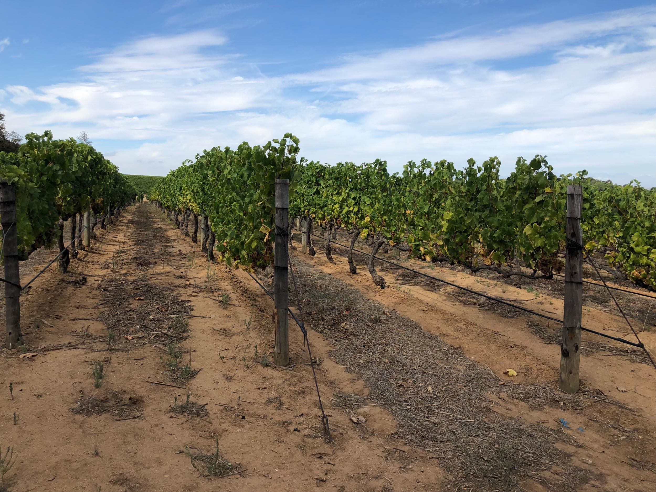 Vineyards at Groot Constantia