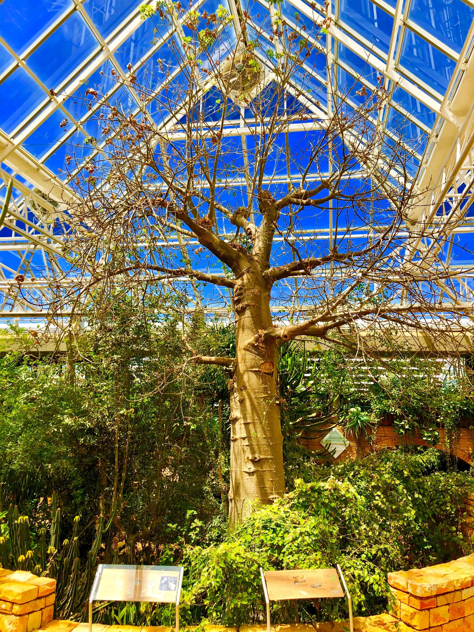 Baobab tree in Kirstenbosch Botanical Gardens