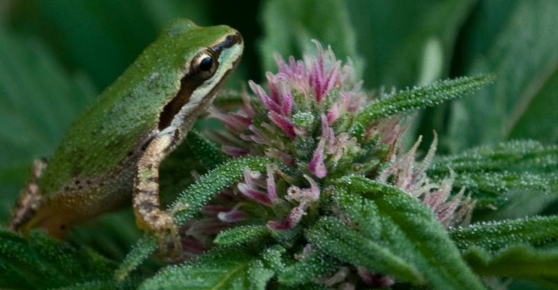 Frog & Chemband.jpg