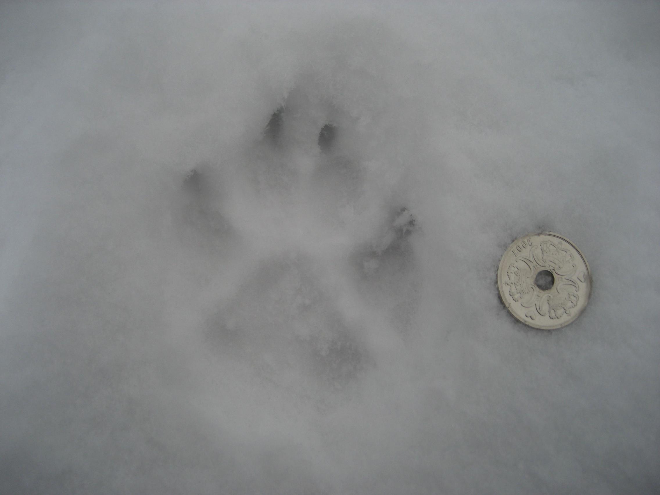 rævespor i sne.jpg