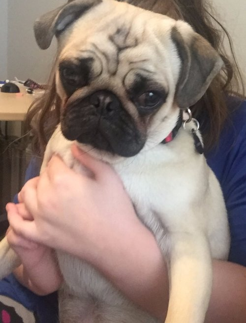 Baxter - our Precious Pug!