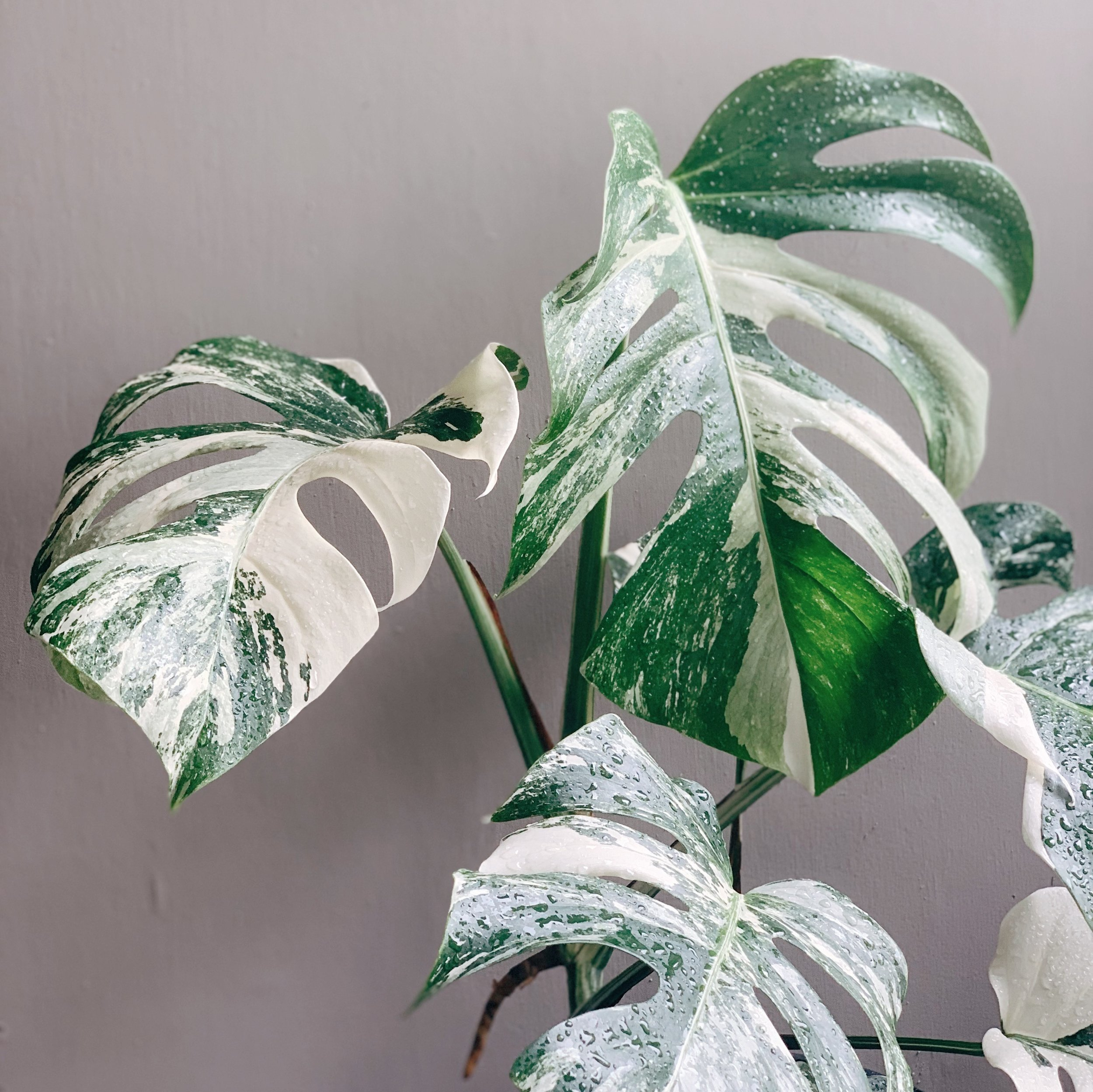 So you want to find a Variegated Monstera? Well you're in luck! This blog post is dedicated to scoring a beautiful Variegated Monster. Also, I regularly hold giveaways for cuttings of this plant, so make sure you watch out for those on @houseplantplantclub (instagram).