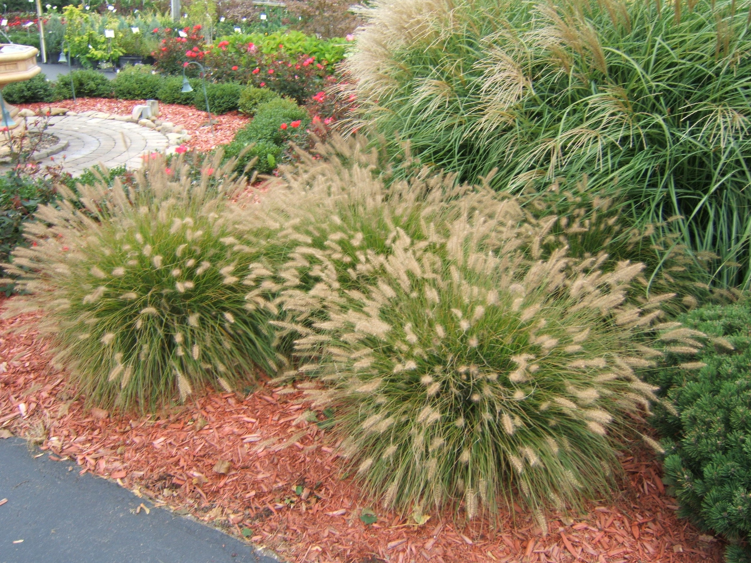 Dwarf Fountain Grass.jpg