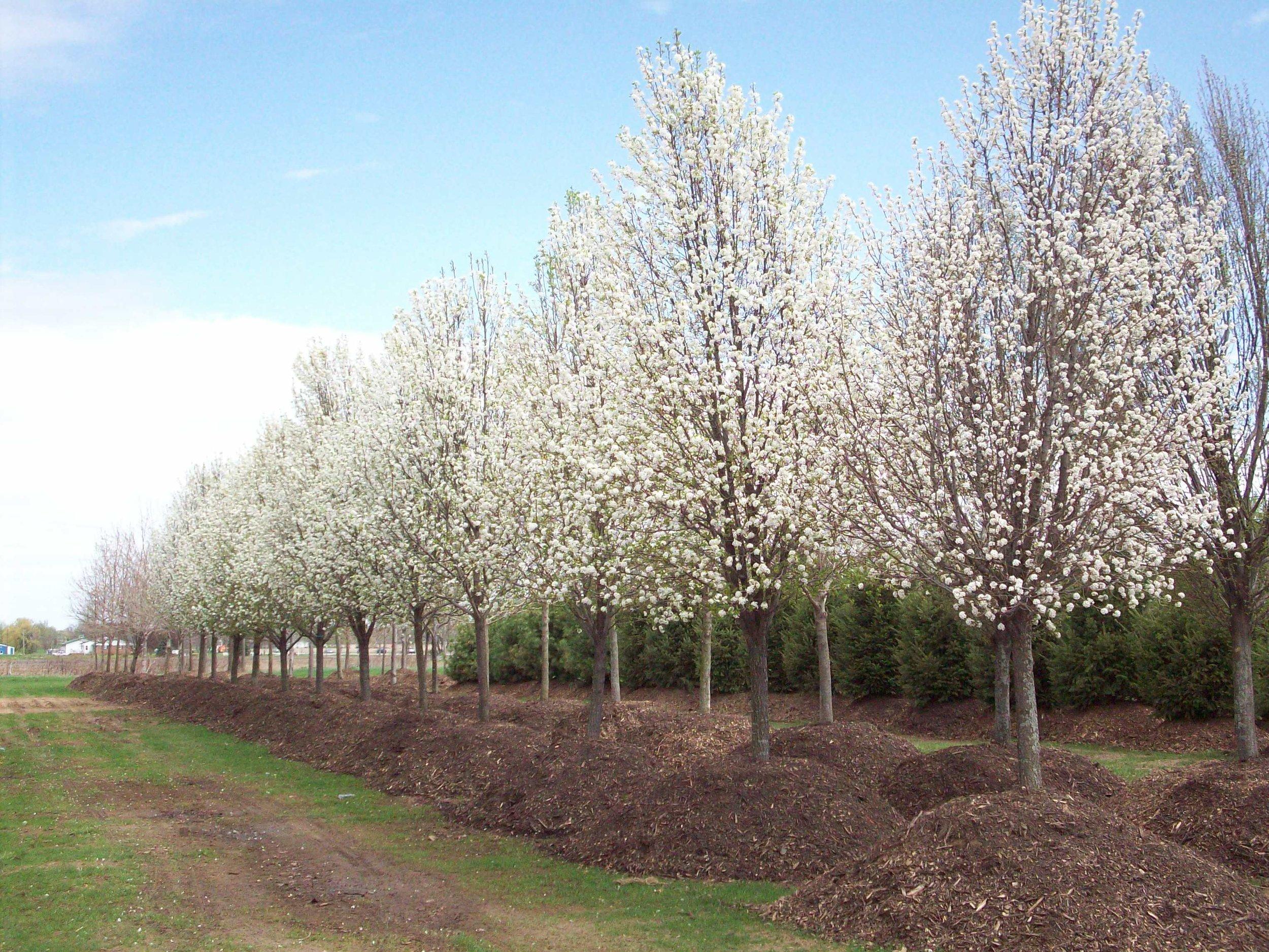 CLEVELAND PEAR TREES.JPG