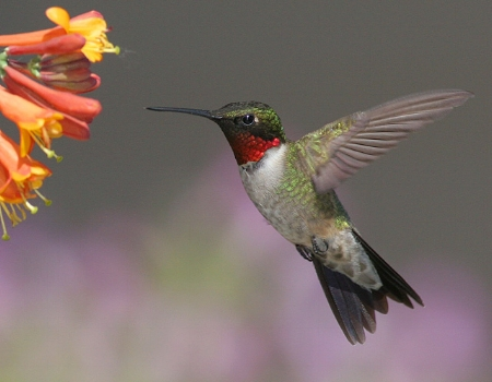 ruby_throated_hummingbird.jpg