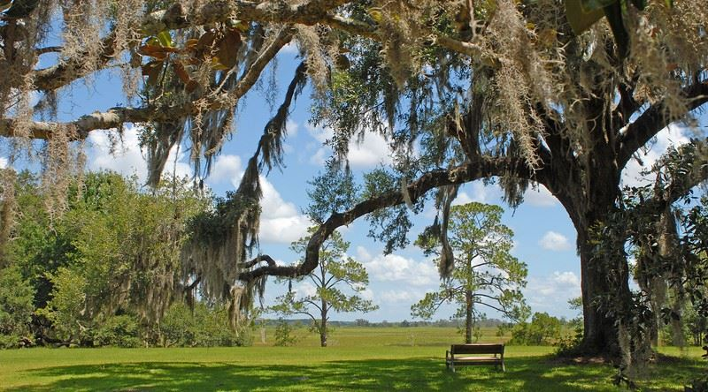 A Live Oak at Hofwyl-Broadfield Plantation