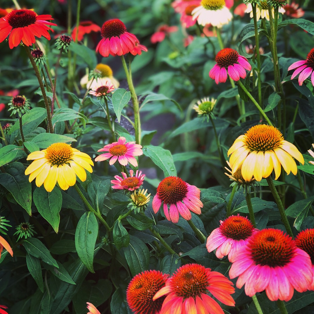 Echinacea in a variety of colors at Russo's!