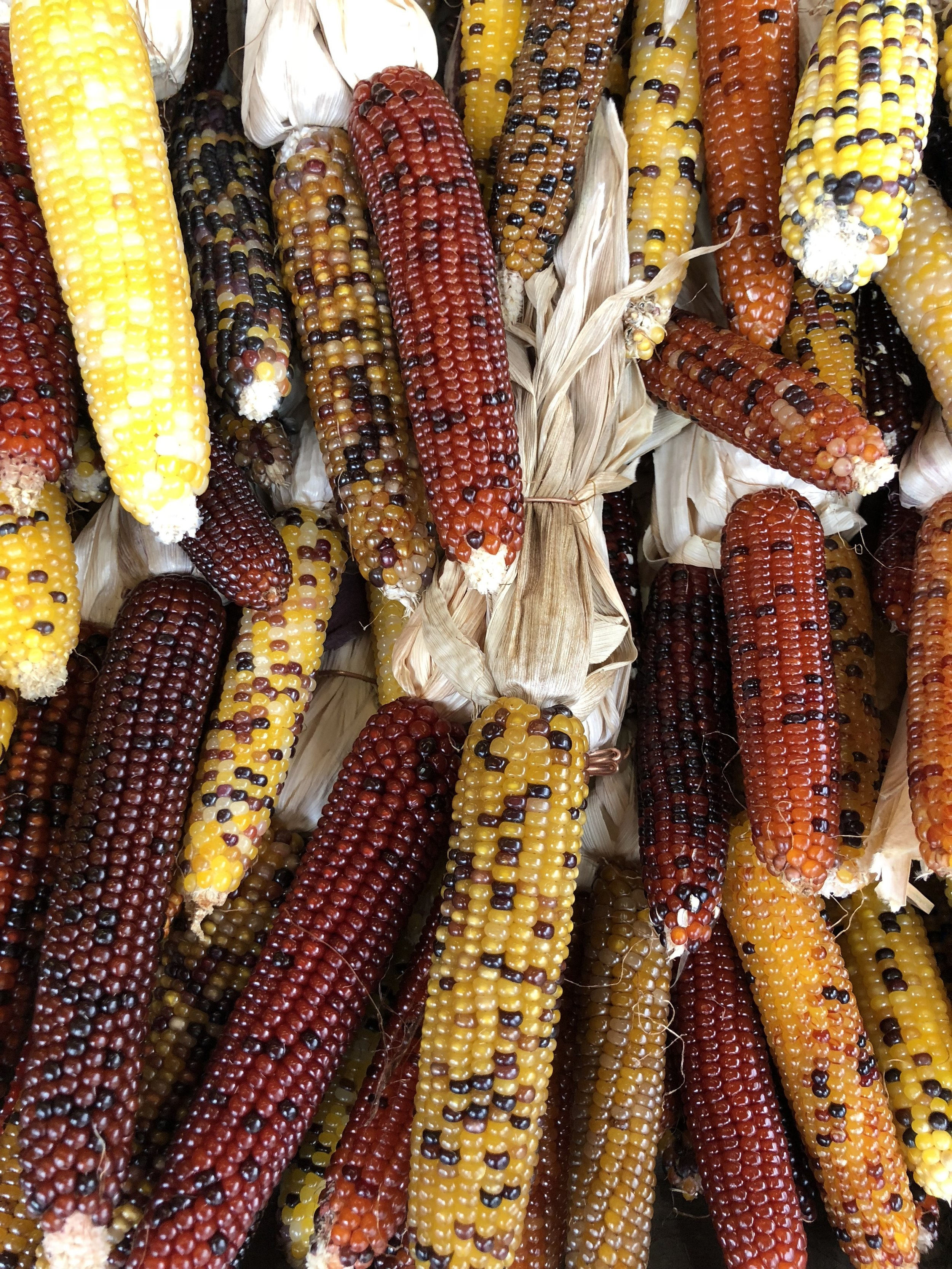 Colorful decorative corn at Russo's