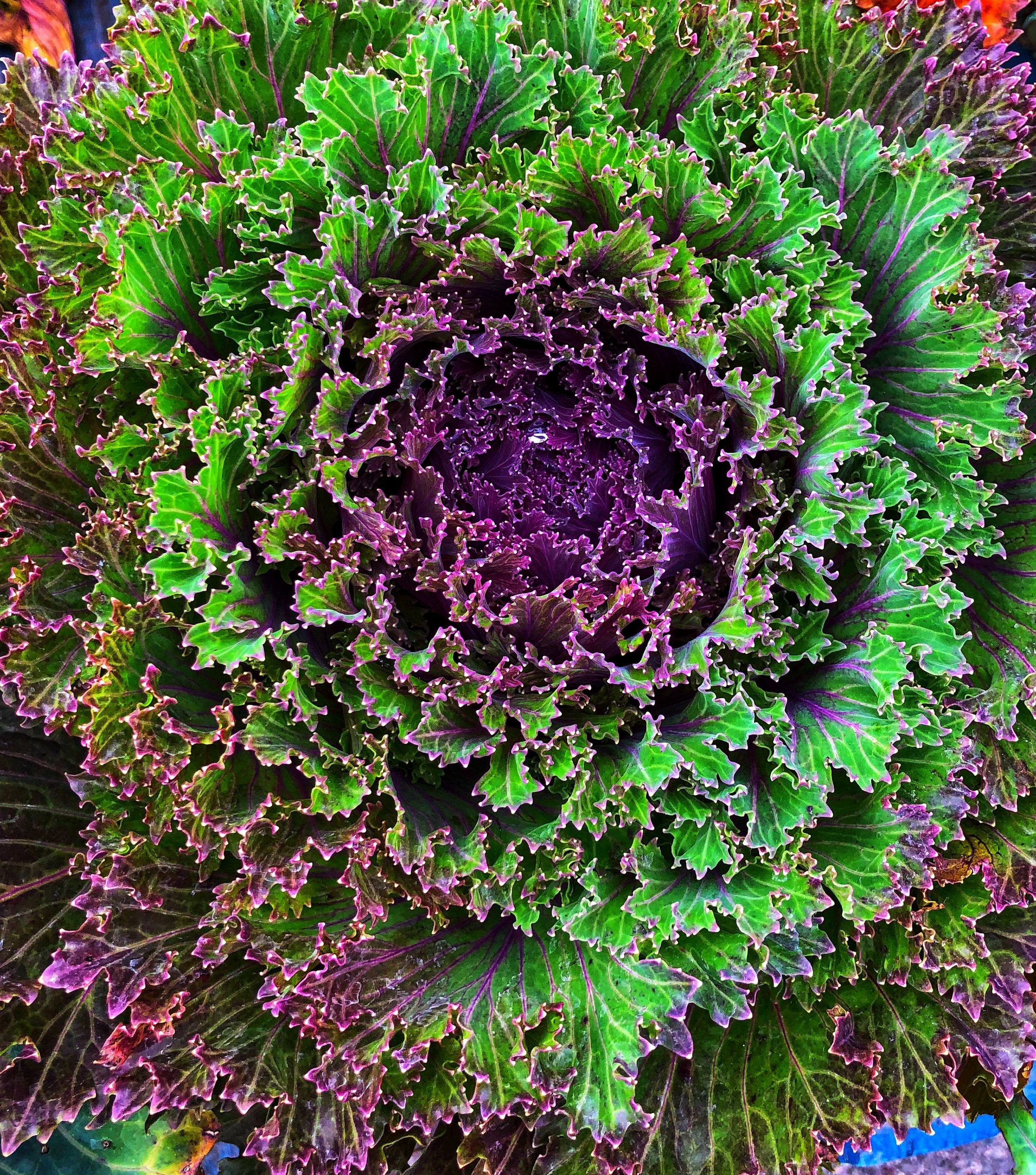 Ornamental Kale at Russo's