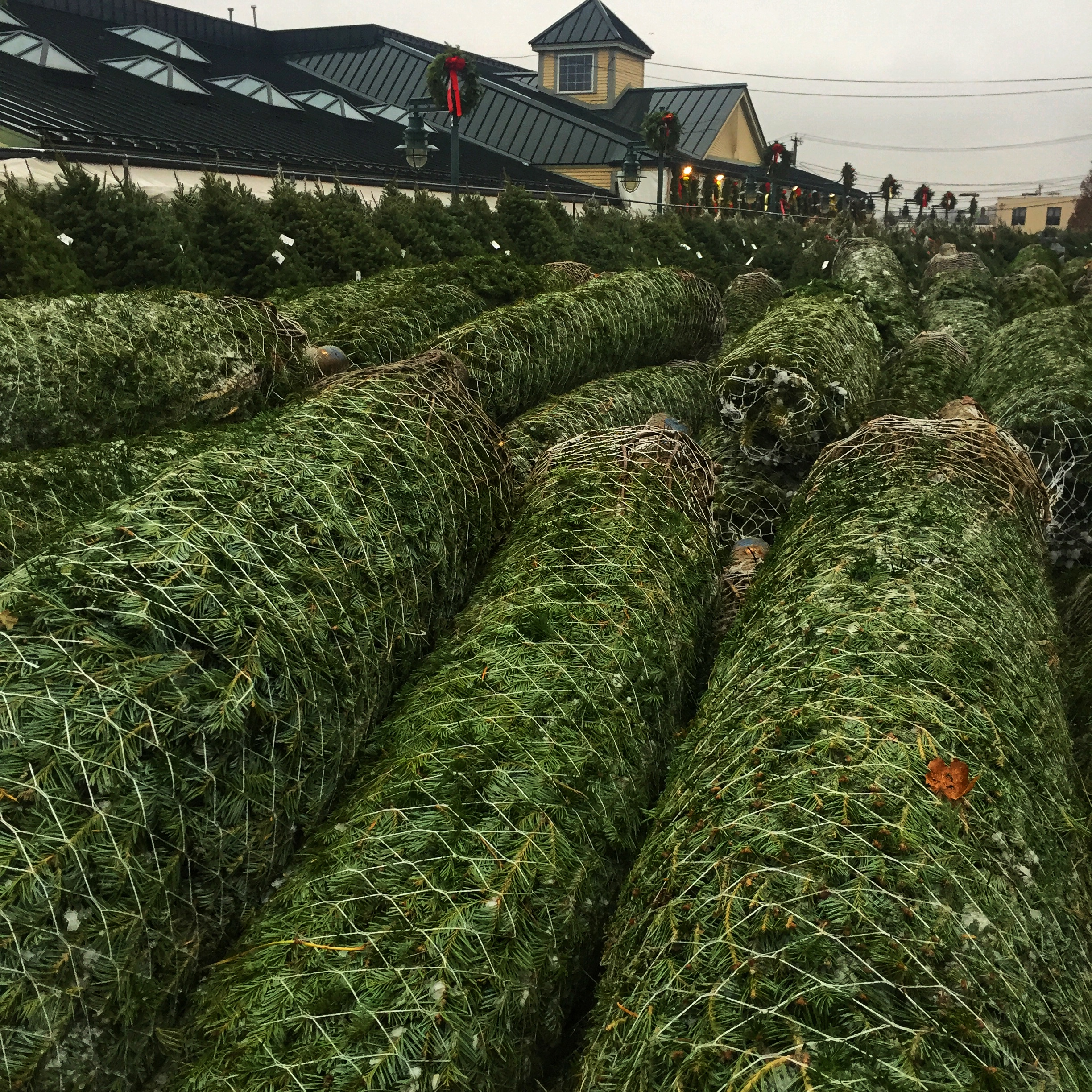 Christmas trees have arrived at Russo's