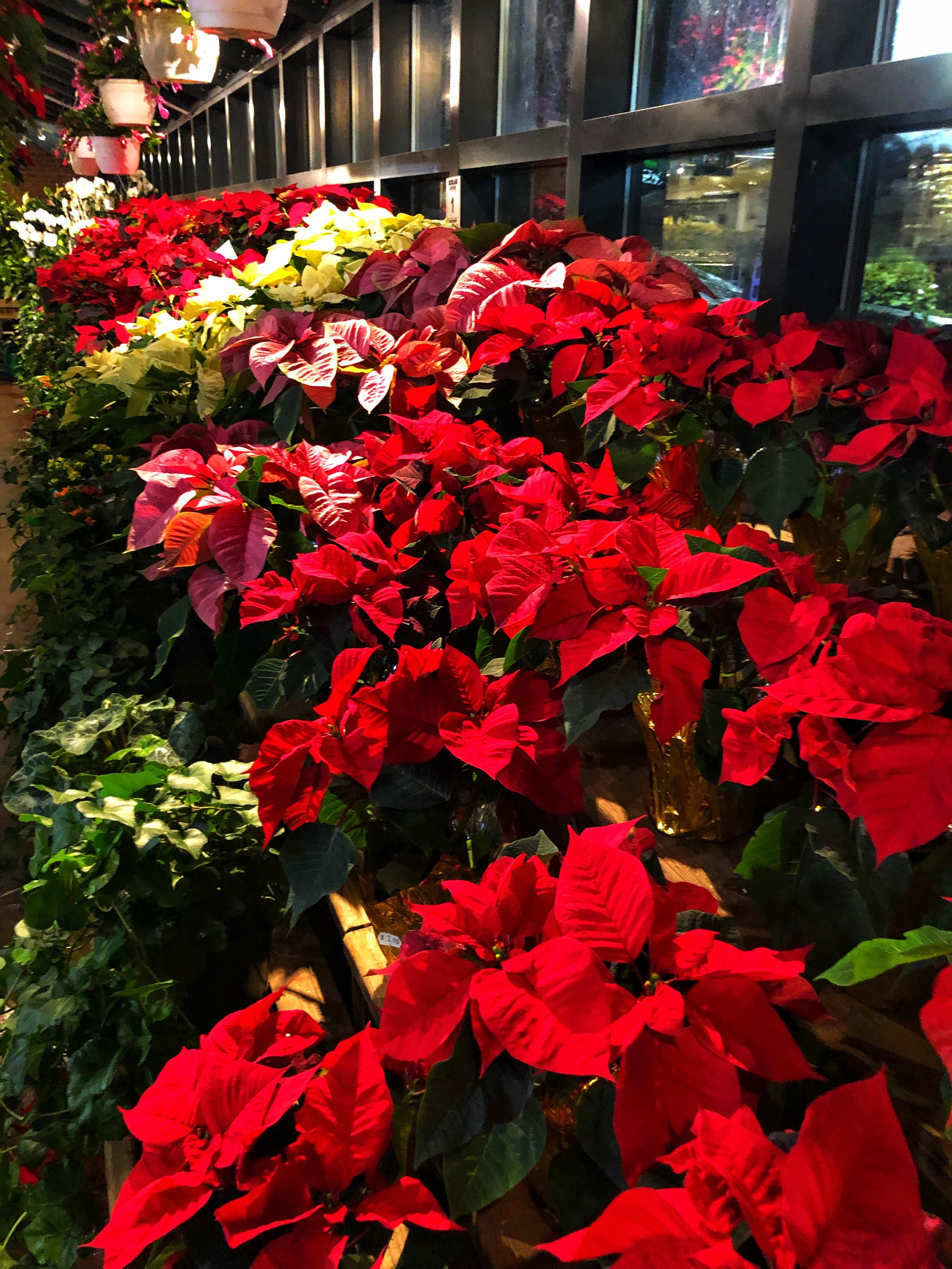 Poinsettias at Russo's