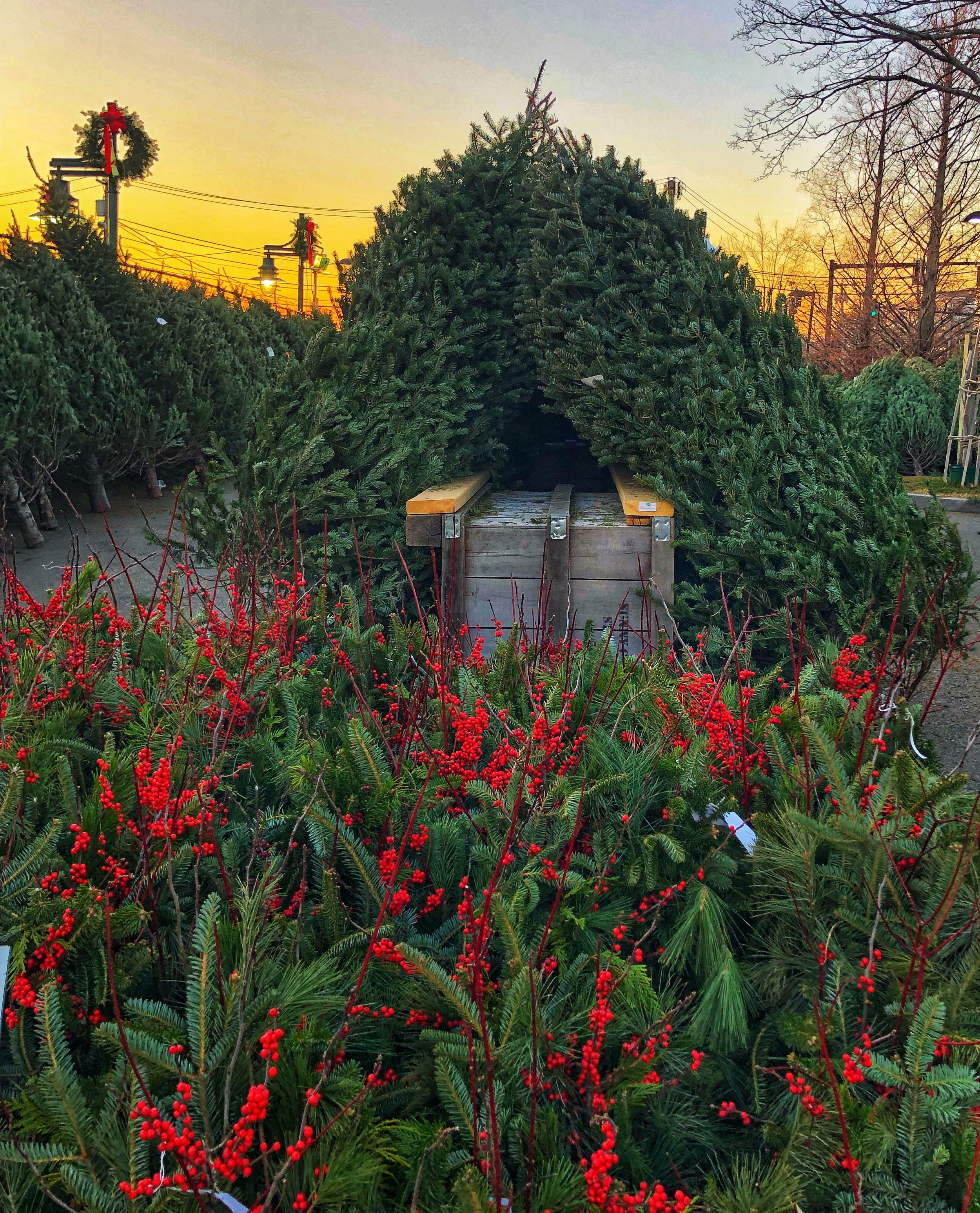 Christmas Trees and berry decorations at sunset at Russo's.
