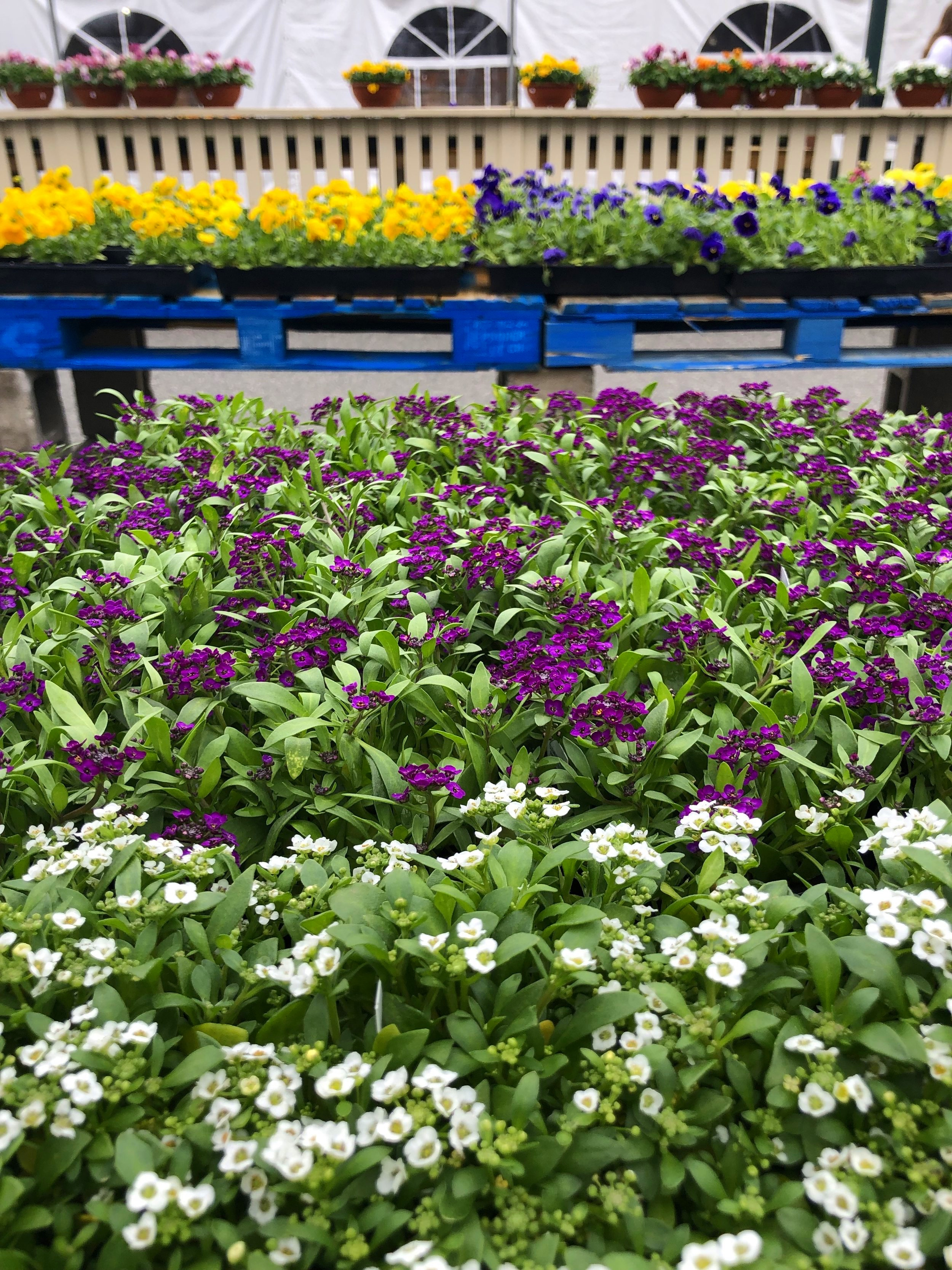Fragrant Alyssum smells like spring! It is perfect for planting along a path. Listen to our Tony's Tips for more information on this simple yet beautiful plant.