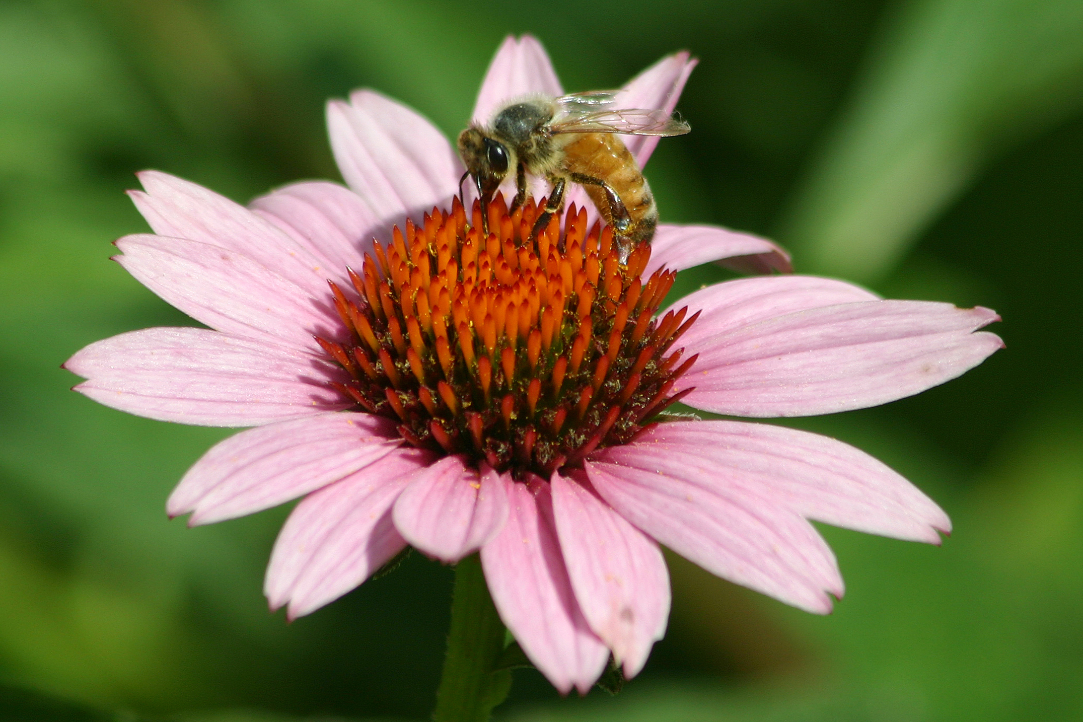 Bee pollinating a flower. Photo Credit to Carole Berney.