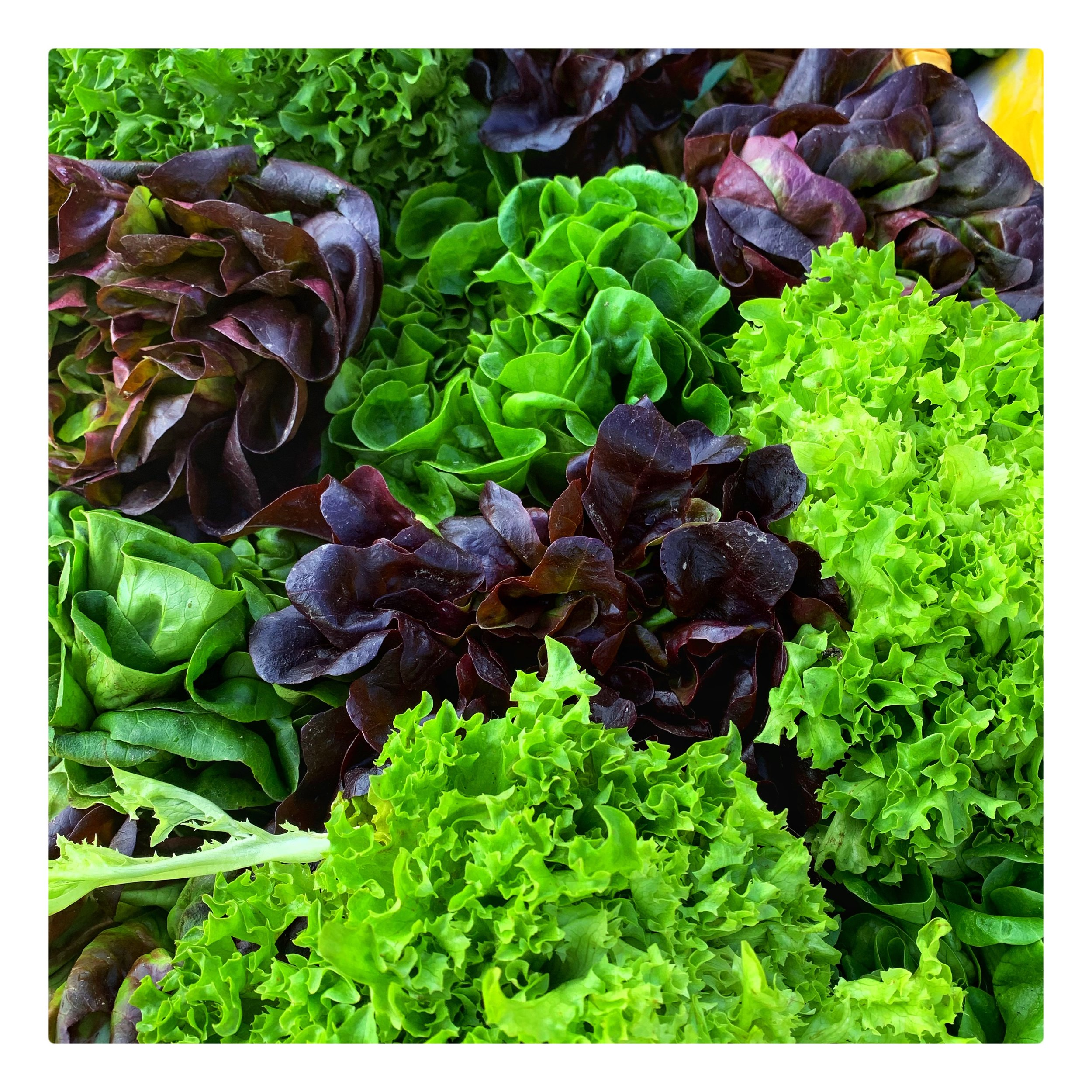 Organic locally grown lettuce
