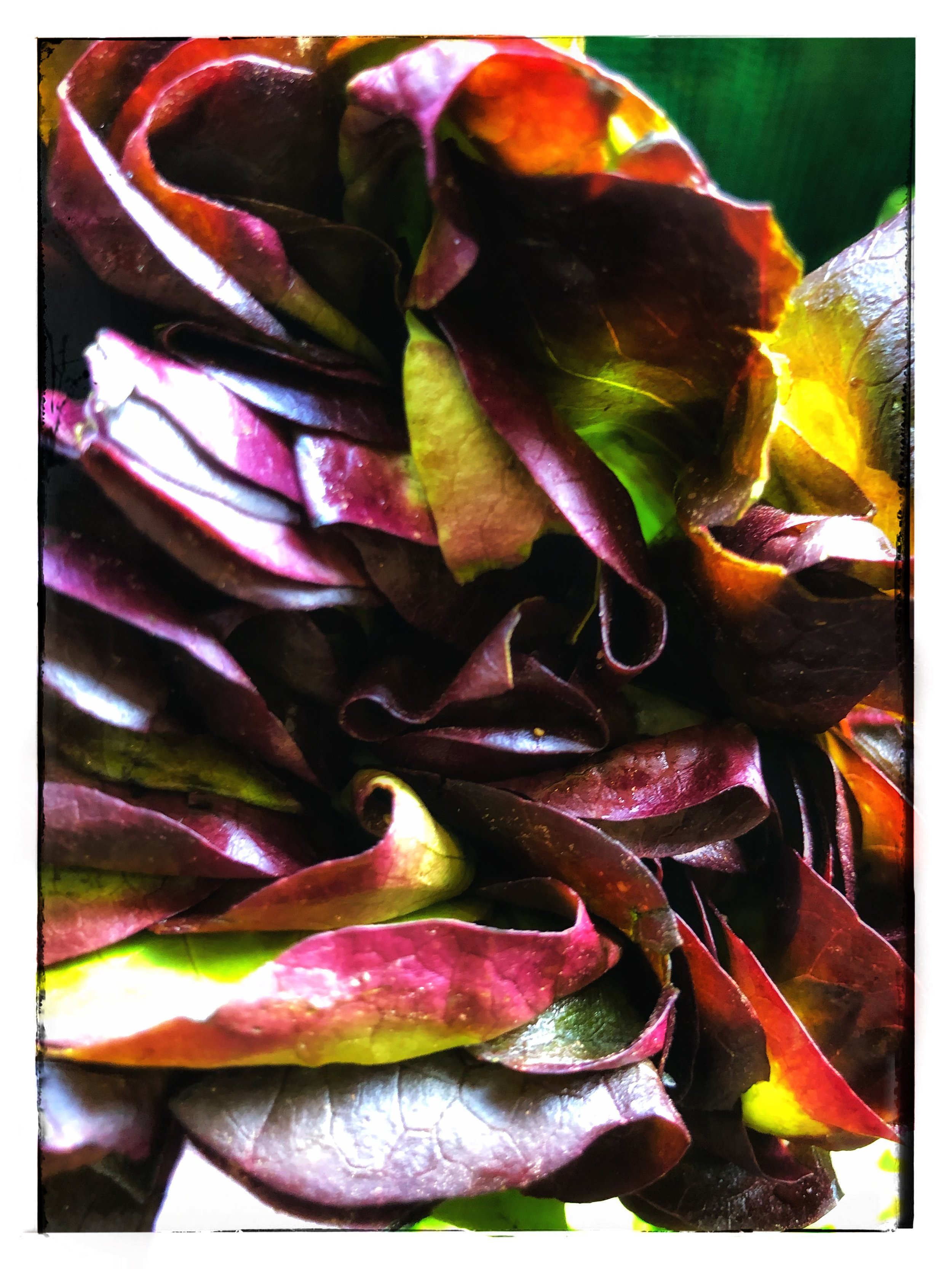 Locally grown organic lettuce available in our store!