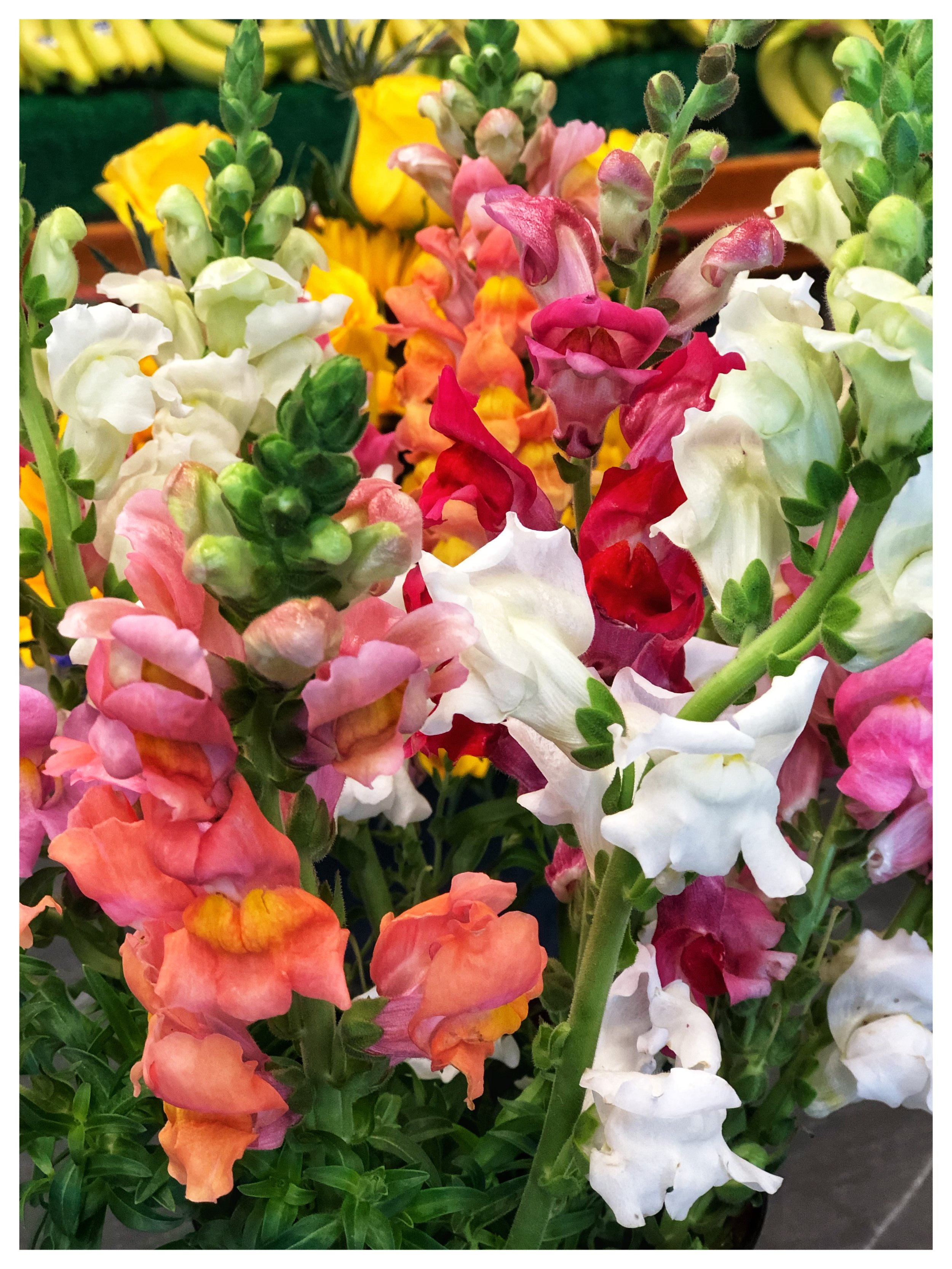 Locally grown snapdragons from Macone Farm in Concord, Massachusetts