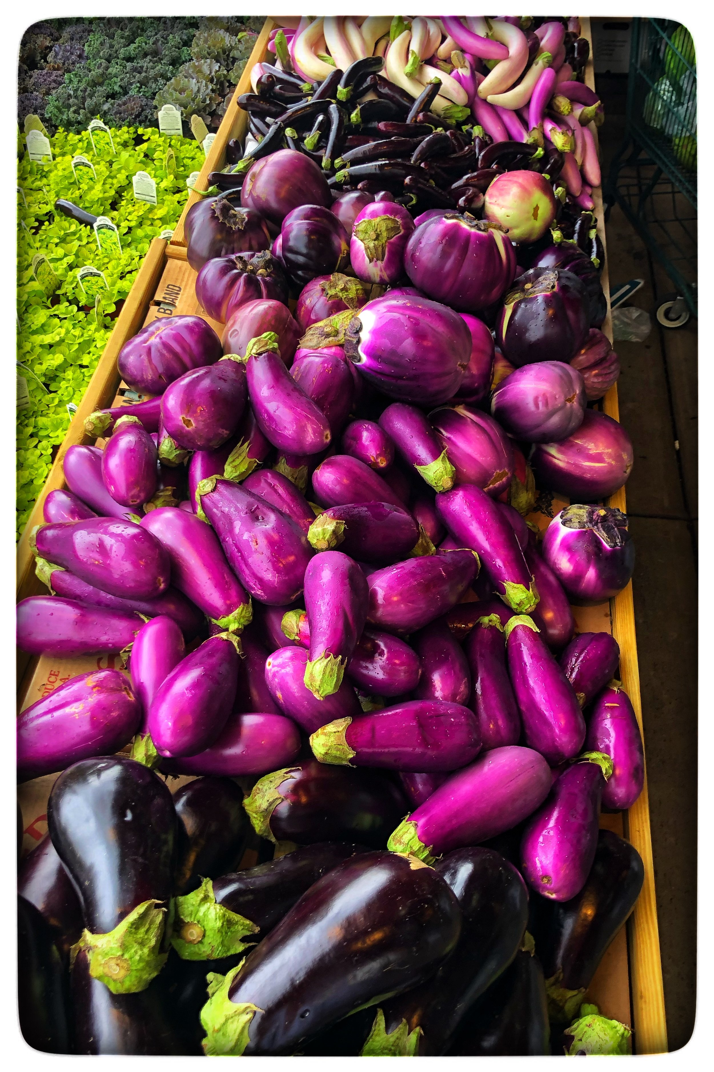 Locally grown eggplants in a variety of colors, flavors and textures!