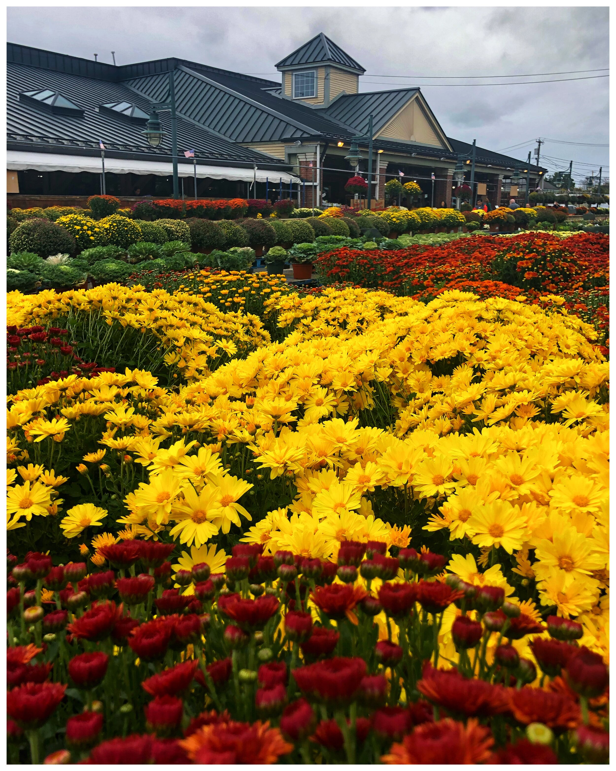 Mums in glorious fall colors at our store!