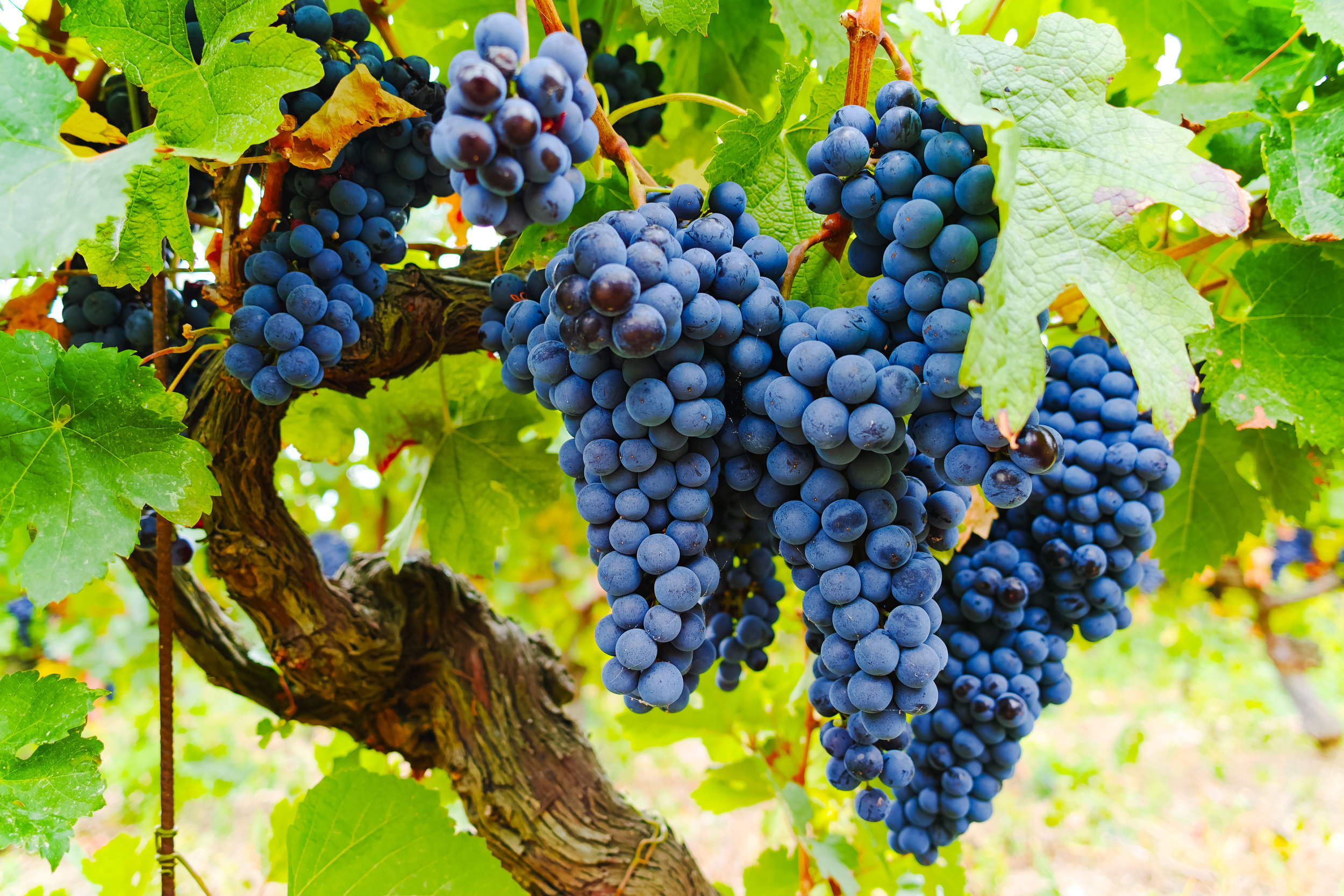 Our Grape Selection: -
