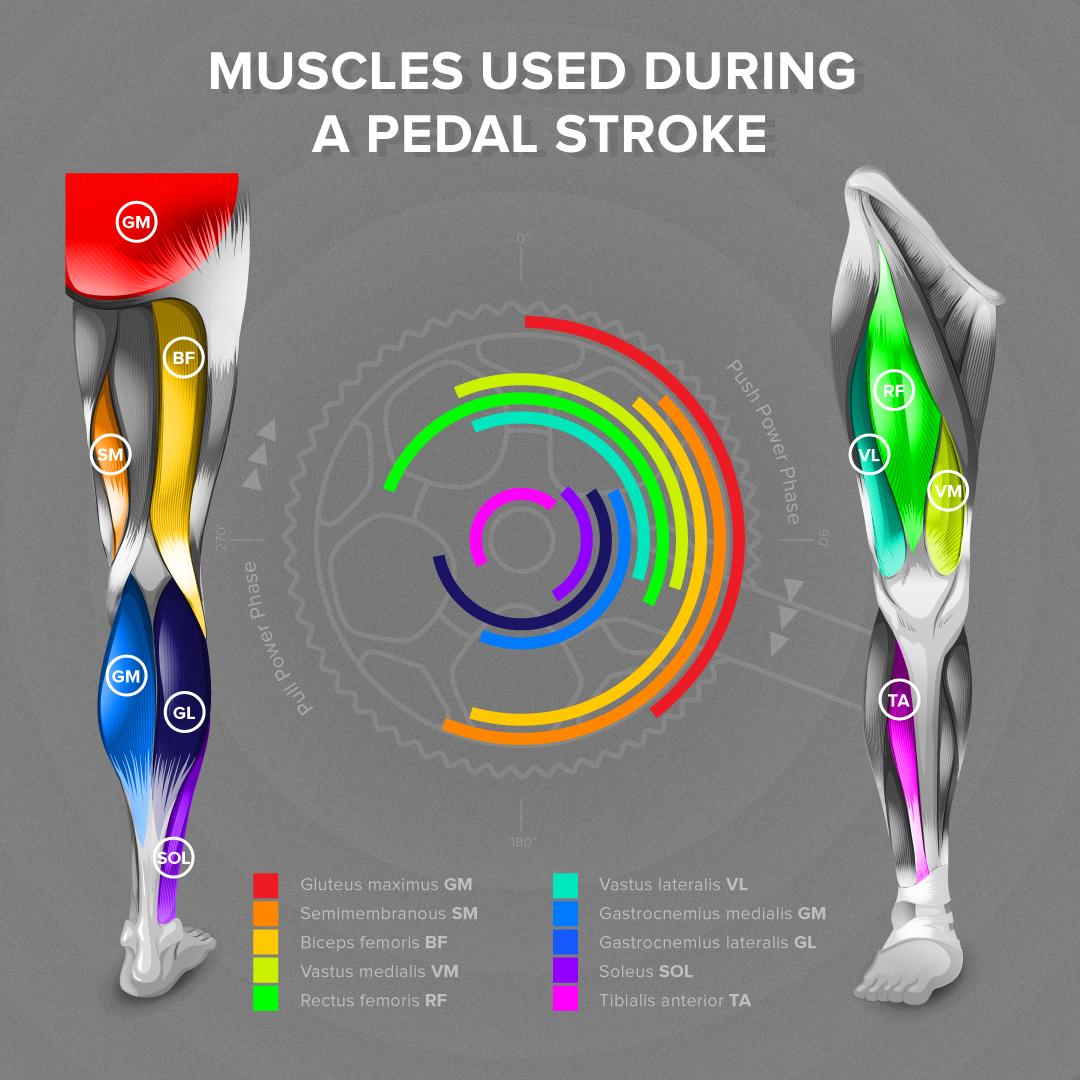 Muscles utilisés lors d'un coup de pédale complet.     https://www.welovecycling.com/wide/2016/05/06/kind-muscles-used-pedal-stroke/