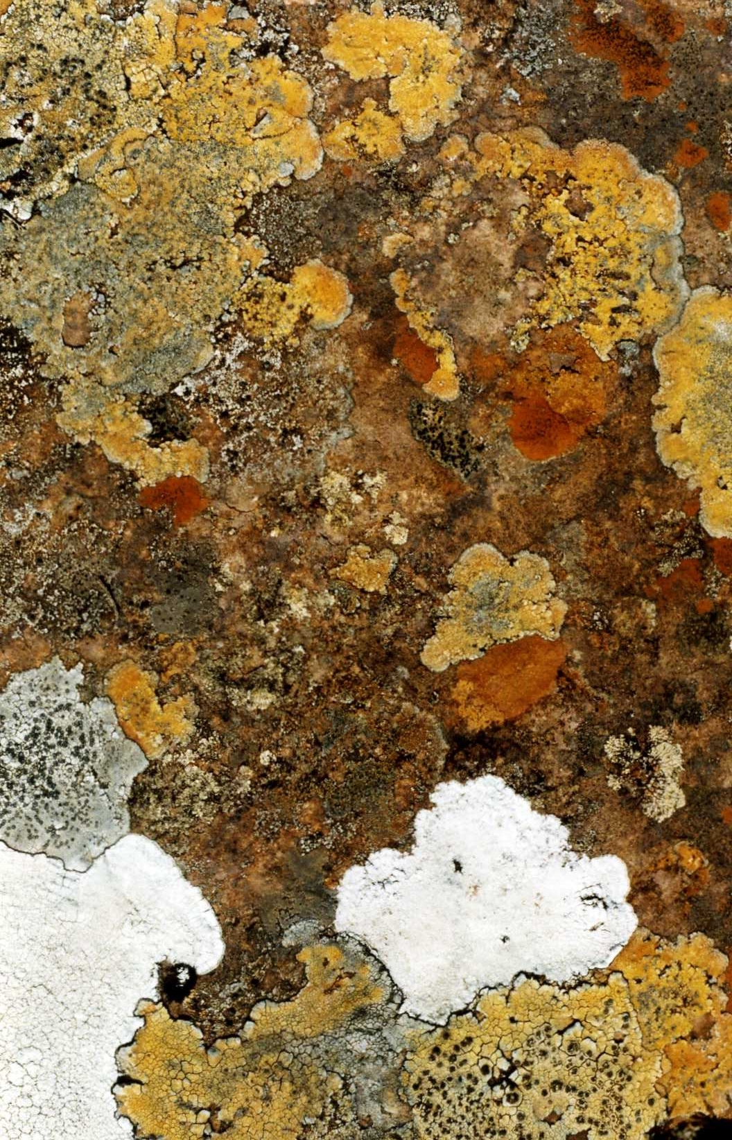 Suilven Lichen.jpg