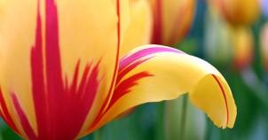 tulips6.302x158.jpg