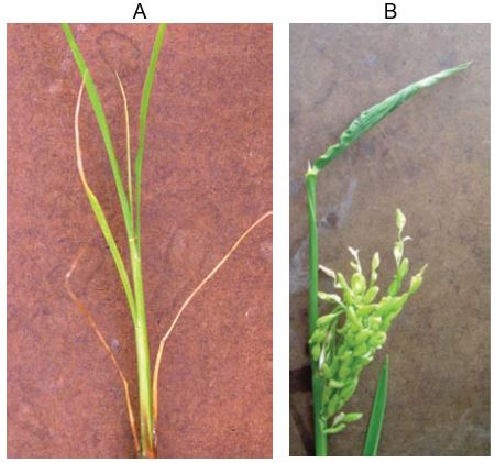 Spray drift damage from glyphosate on rice seedling (A), and rice panicle (B)