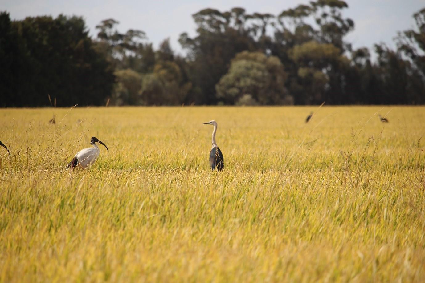 Birds in crop.jpg