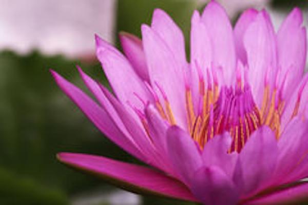 macro-pink-lotus-flower-pond-beautiful-93427624.jpg