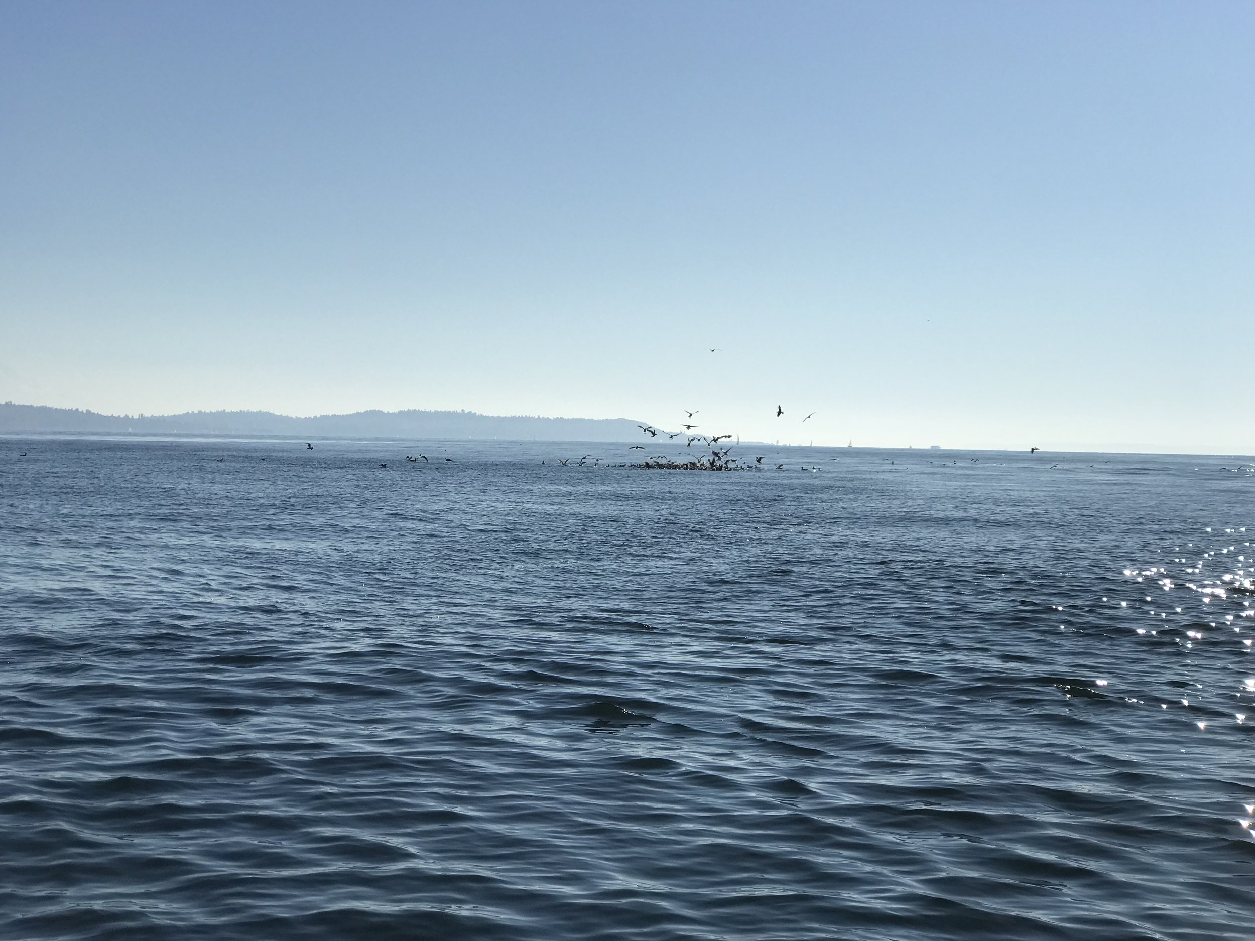Birds working a ball of herring north of Seattle