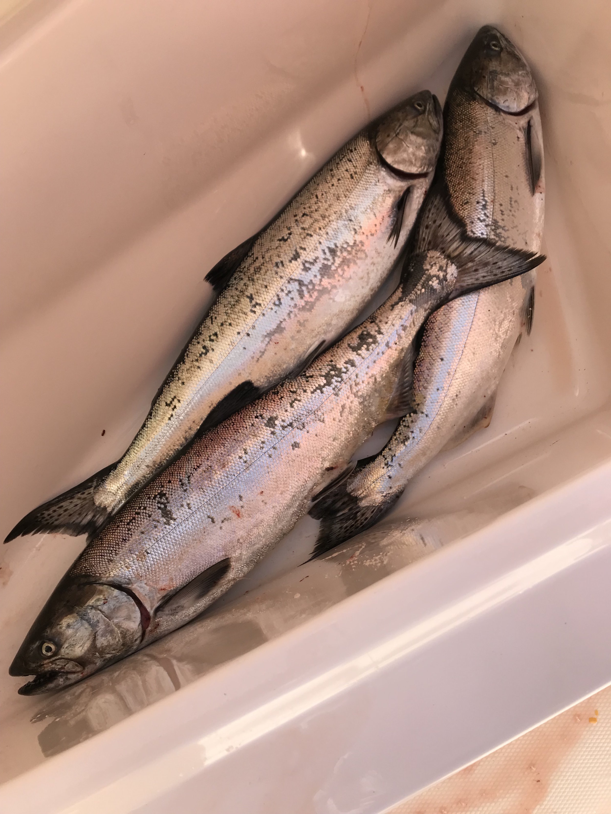 Puget Sound Blackmouth (Winter Chinook Salmon)