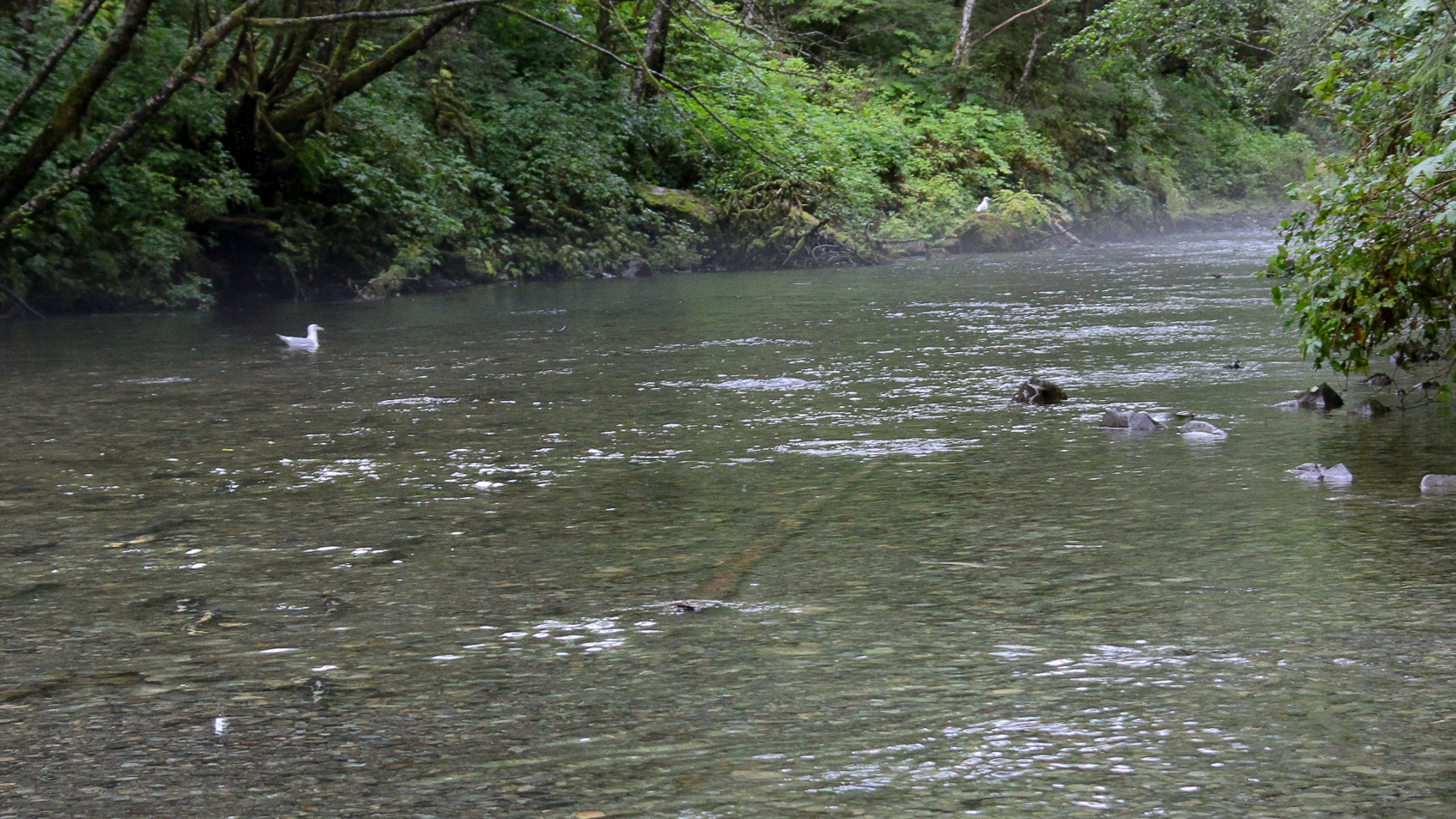 It might be a little hard to see, but this river was FILLED with hundreds of Salmon, migrating up the river!