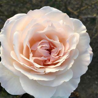 Rose Lover 1.png