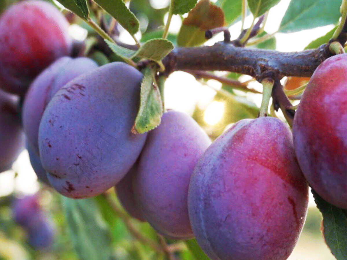 French Prunes - We are proud members of Sunsweet Growers. All of our French prunes are distributed through Sunsweet. To purchase our prunes please visit the Sunsweet Growers store or look for the Sunsweet label on your local grocery store shelf.