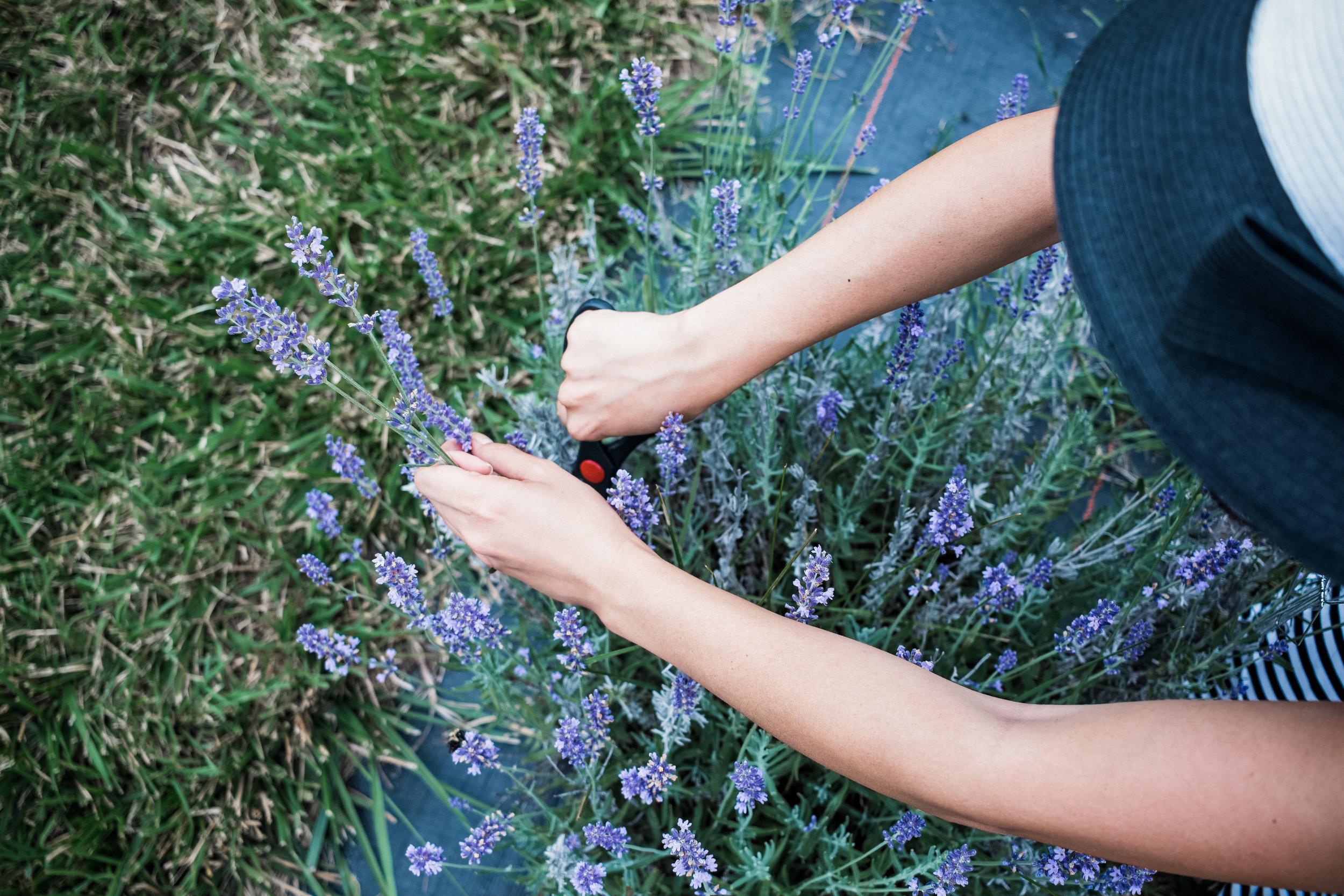 IMG_8417_LavenderFarm_THORSON_028.jpg