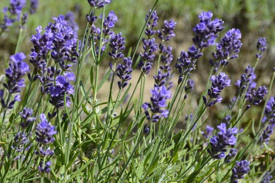 cape-cod-lavender-farm-1.jpg